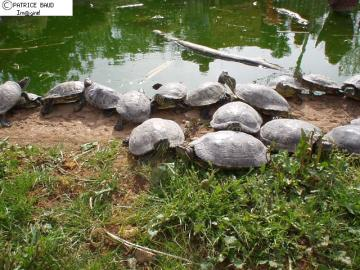 Tortues d'eau douce. Tortue de Floride.