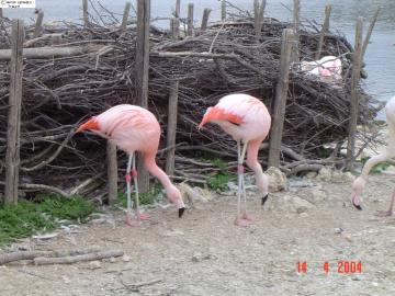 Flamands roses, Sigean